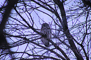 Eric Menk Metal Prints - Barred Owl Metal Print by Eric Menk