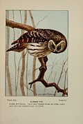 Lawyer Drawings Framed Prints - Barred Owl Framed Print by Ernest Seton Thompson