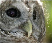 Geraldine Alexander - Barred Owl 