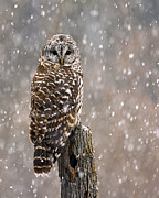 New England Snow Scene Metal Prints - Barred Owl in a New England Snow Storm Metal Print by John Vose