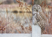 Ollie Framed Prints - Barred Owl in Bend Framed Print by Jaime Weatherford