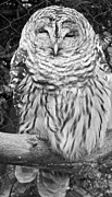 Owl Greeting Card Framed Prints - Barred Owl in Black and White Framed Print by John Telfer