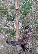 Barred Owl In Flight 2 Print by Randy Matthews
