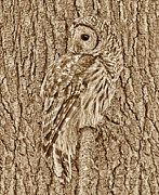 Barred Owls Framed Prints - Barred Owl in Sepia Framed Print by Jennie Marie Schell