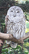 Owl Greeting Card Framed Prints - Barred Owl Framed Print by John Telfer