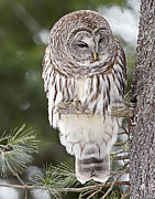 Forest Dweller Posters - Barred Owl Poster by John Vose