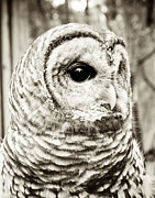 Joy Stclaire Framed Prints - Barred Owl Framed Print by Joy StClaire