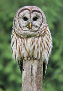 Owls Framed Prints - Barred Owl on a Fence Post Framed Print by Jennie Marie Schell