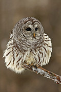 Birds Of Prey Print Prints - Barred Owl on a Winter Day Print by Inspired Nature Photography By Shelley Myke