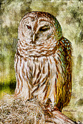 Deborah Benoit - Barred Owl on Moss