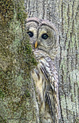 Green Posters - Barred Owl Peek a Boo Poster by Jennie Marie Schell