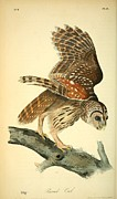Audubon Drawings Posters - Barred Owl Poster by Philip Ralley