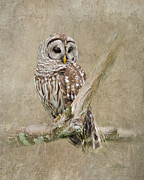 Textured Photograph Prints - Barred Owl Portrait Print by Betty LaRue