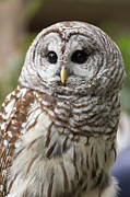 Perched Posters - Barred Owl Portrait Poster by Dale Kincaid