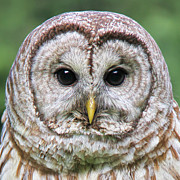 Owl Eyes Posters - Barred Owl Portrait Poster by Jennie Marie Schell