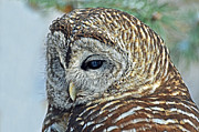 Rodney Campbell - Barred Owl Portrait