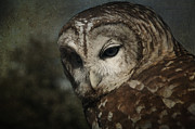 Sue Fulton - Barred Owl Portrait