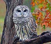 Rodney Campbell - Barred Owl