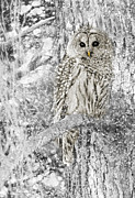 Black-and-white Metal Prints - Barred Owl Snowy Day in the Forest Metal Print by Jennie Marie Schell
