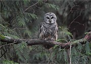 Bay Pyrography Prints - Barred Owl Stare down Print by Daniel Behm