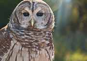 Sue Fulton Posters - Barred Owl Poster by Sue Fulton