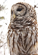 Tammy Schneider - Barred Owl