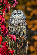 Photos Of Autumn Framed Prints - Barred Owl Framed Print by Todd Bielby