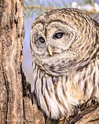 LeeAnn McLaneGoetz McLaneGoetzStudioLLCcom - Barred Owl Watch