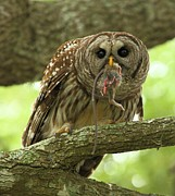 Adam Jewell - Barred Owl With A Mouse
