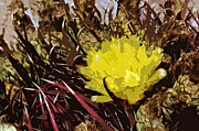 Jack Mcaward Posters - Barrel Cactus Bloom Poster by Jack McAward