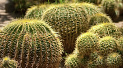 Barrel Cactus Posters - Barrel Cactus Poster by Gilbert Artiaga