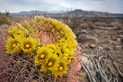 Canyon Photos - Barrel Cactus by Peter Tellone