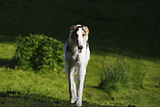 Sight Hound Photo Posters - Barzoi hound running in a woolf like posture Poster by Christian Lagereek