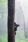 Black Bear Photos - Bashful Bear Cub - FS000230 by Daniel Dempster