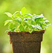 Grow Photos - Basil by Elena Elisseeva