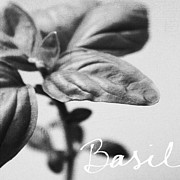 Black And White Prints - Basil Print by Linda Woods