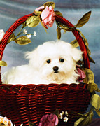 Maltese Puppy Photos - Basket Of Love by Elizabeth Eldridge M Photog