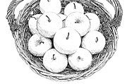 Food And Beverage Drawings Posters - Basket With Apples Sketch Poster by Shopartgallery   