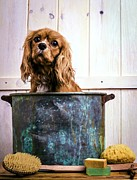 Bath Photos - Bath Time - King Charles Spaniel by Edward Fielding