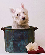 Oil Digital Art Framed Prints - Bath Time Westie Framed Print by Edward Fielding