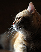 Tabby Cat Photos - Bathed In Light by Renee Forth Fukumoto