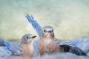 Bluebirds Prints - Bathing Bluebird Beauties Print by Bonnie Barry
