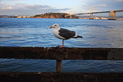 Bay Bridge Photos - Bay Bridge Seagull by Aidan Moran