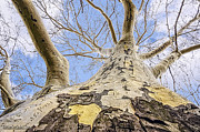 LeeAnn McLaneGoetz McLaneGoetzStudioLLCcom - Bay City American Sycamore Tree