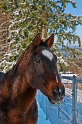 Race Horse Photos - Bay Thoroughbred Horse Closeup in Snow by Valerie Garner