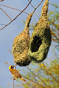 Still Life Photographs Originals - Baya Weaver by Gurpreet Artist
