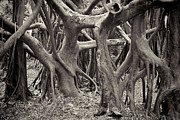 Strangler Fig Metal Prints - Baynan Roots Metal Print by Rudy Umans