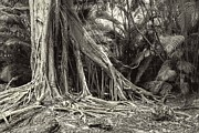 Strangler Fig Metal Prints - Baynan Tree Metal Print by Rudy Umans