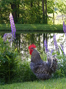 New England. Pyrography Posters - BB the Rooster and Lupine Poster by Susan Russo