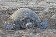 Green Sea Turtle Photos - Beach Bum by Douglas Barnard